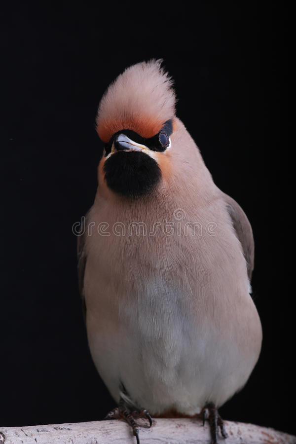 Download Bohemian Waxwing stock image. Image of isolated, bird - 30864639