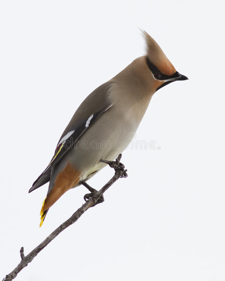 Download Bohemian Waxwing Close Up Stock Images - Image: 18465664