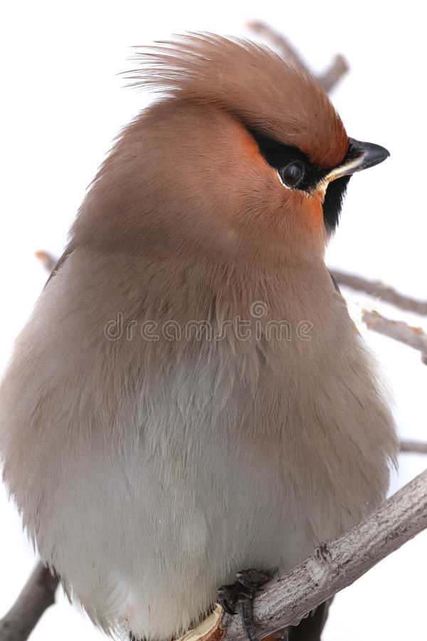 Download Bohemian Waxwing stock photo. Image of cedar, twig, bombycilla - 33549884