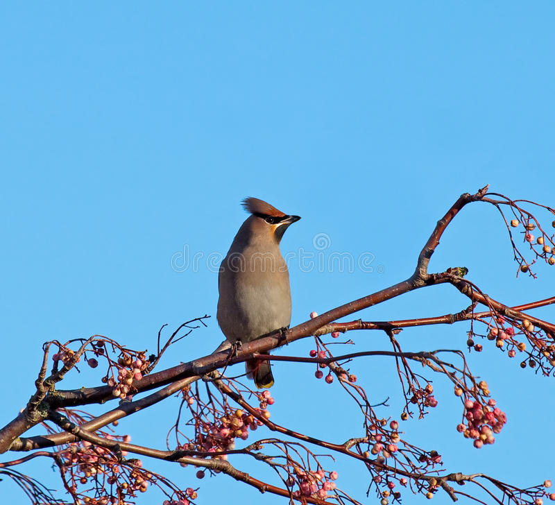 Bohemian Waxwing On Rowan Tree Stock Photo