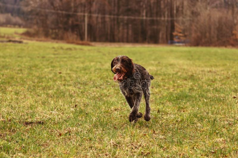 Bohemian wire runs around her owner in the CHKO Beskydy. Adorable puppy with tongue out runs around. Czech pointer playing with us royalty free stock photography