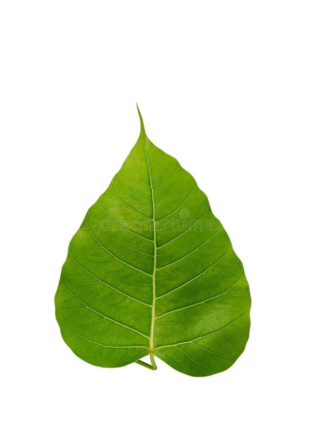 Bohhi drzewa liść obraz stock