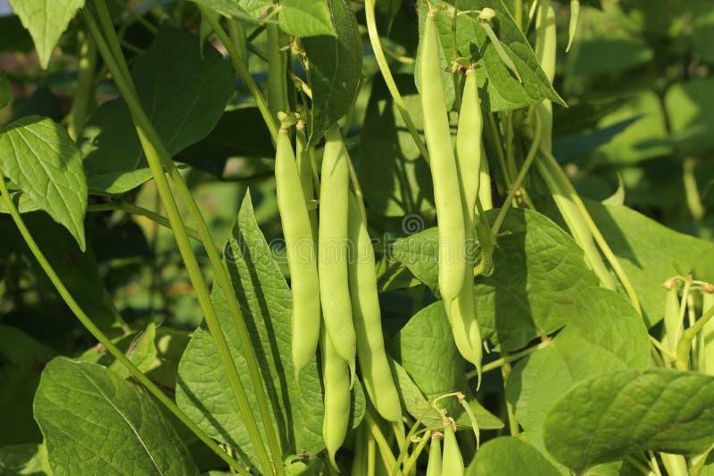 Bohnen, die im Garten wachsen stockfotos