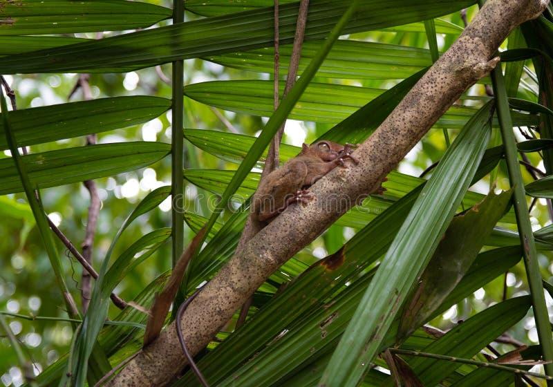 Bohol van Filippijnen van de Tarsier kleinste aap stock foto