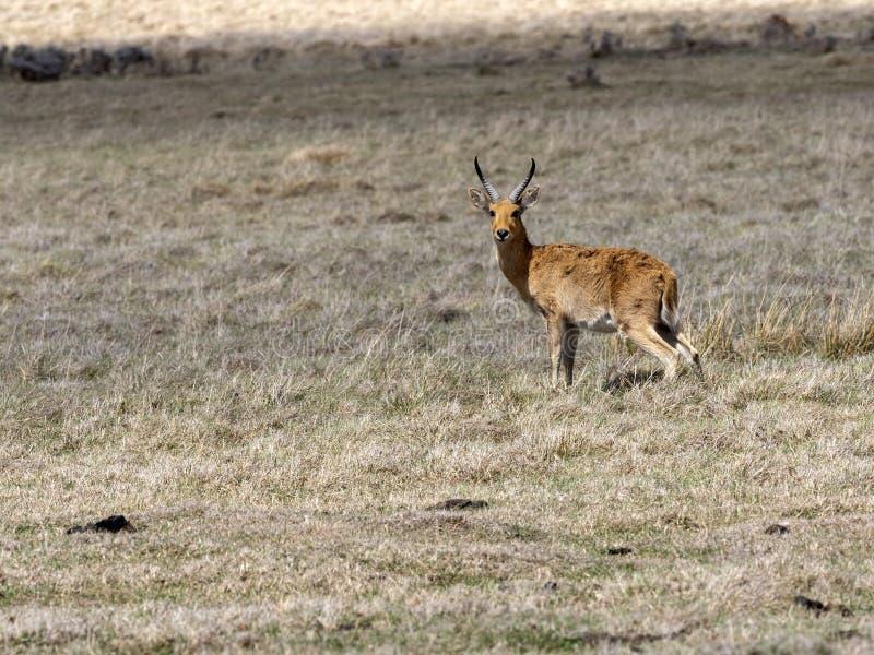 Bohor reedbuck, Redunca redunca honor, lives together with Mountain nyala, in the small area of Bale National Park, Ethiopia. The Bohor reedbuck, Redunca redunca stock photos