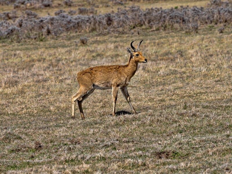 Bohor reedbuck, Redunca redunca honor, lives together with Mountain nyala, in the small area of Bale National Park, Ethiopia. The Bohor reedbuck, Redunca redunca royalty free stock photos