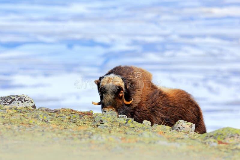 Boi de almíscares, moschatus do Ovibos, com montanha e neve no fundo, animal grande no habitat da natureza, Gronelândia, ani long imagem de stock