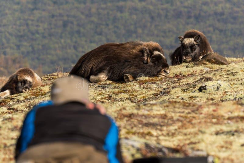 Boi de almíscares na montanha de Dovre em Noruega foto de stock royalty free