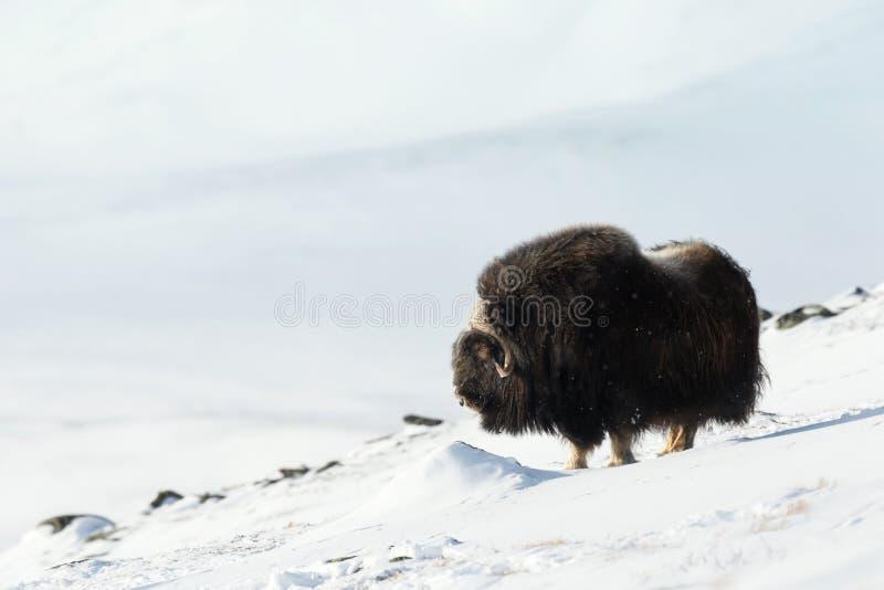 Boi de almíscares no inverno imagem de stock royalty free