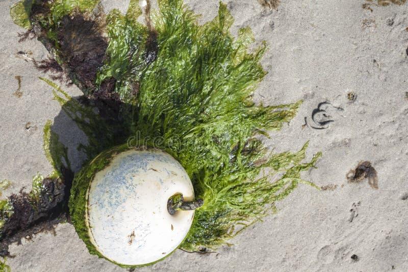 Boia velha na maré baixa coberta com as algas verdes, na costa da maré baixa imagens de stock