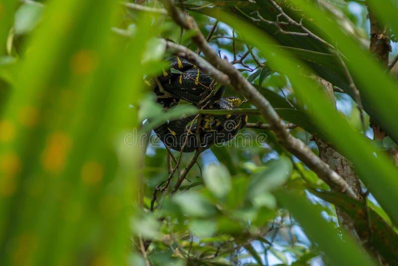 Boiga dendrophila、美洲红树蛇或者金圈状的猫蛇卷毛 免版税库存图片