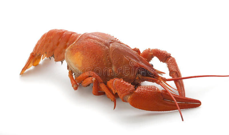 Boiled crawfish. Isolated red boiled crawfish on the white background royalty free stock photo