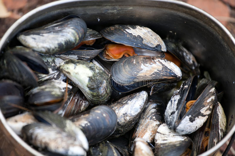 Boiled Mussels Closeup Stock Photo