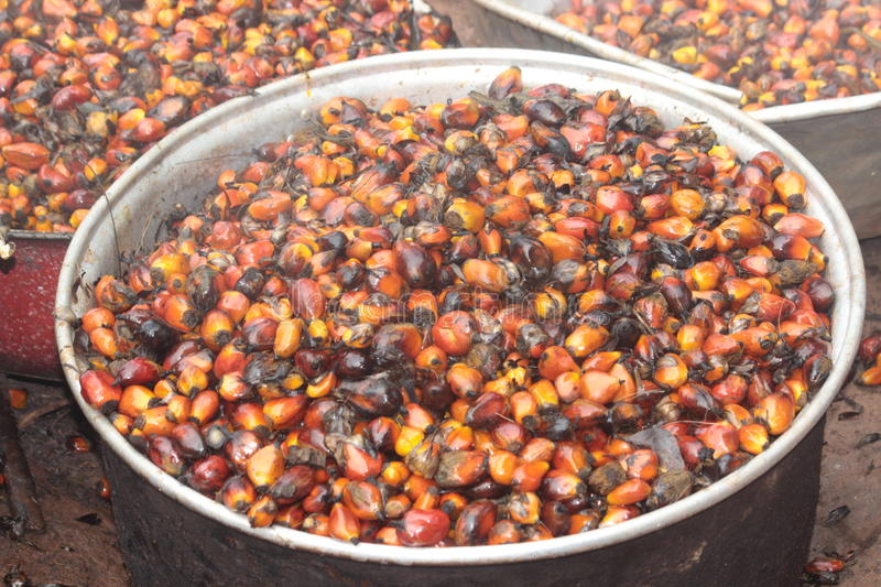 Boiled Palm Nuts. Ready for pressing into oil, to be used for cooking in the village stock photo