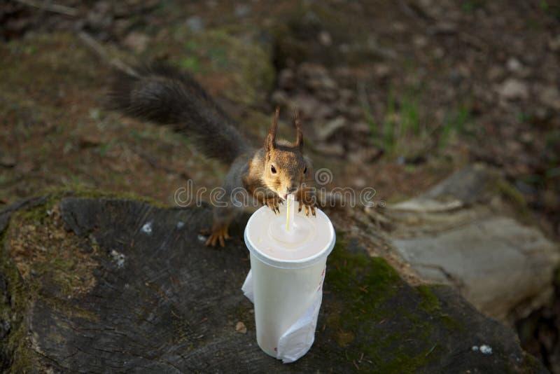 Boire altéré d'écureuil images libres de droits