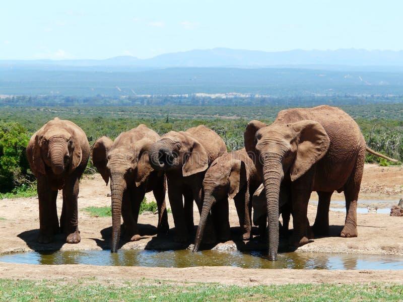 Boire d'éléphants photos libres de droits
