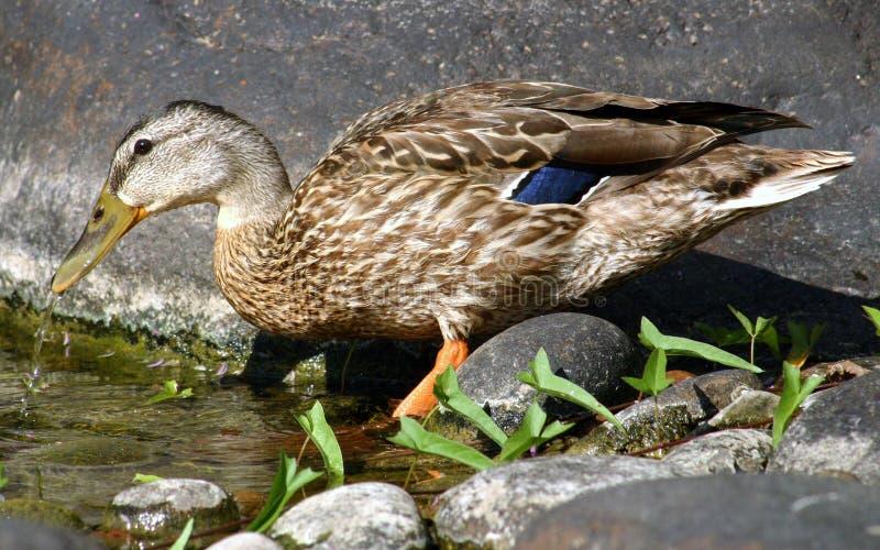 Boire de canard photographie stock libre de droits