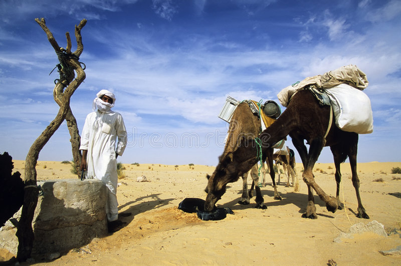 Boire de chameaux images stock
