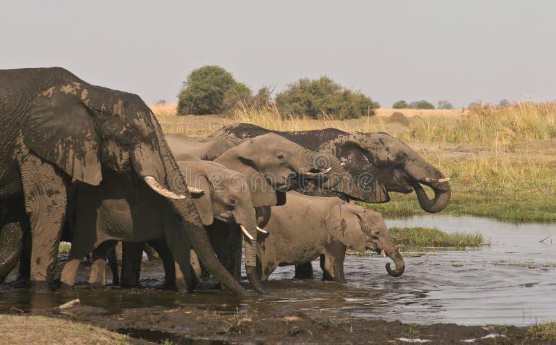 Boire de famille d'éléphant africain images libres de droits