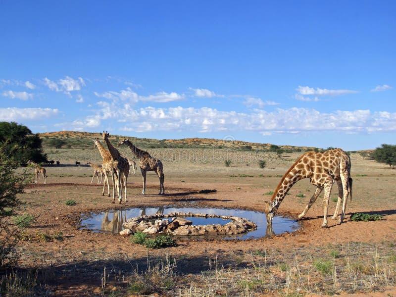 Boire de giraffe photos stock