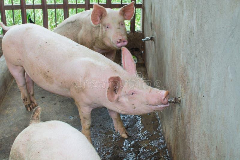 Boire de porc photo libre de droits