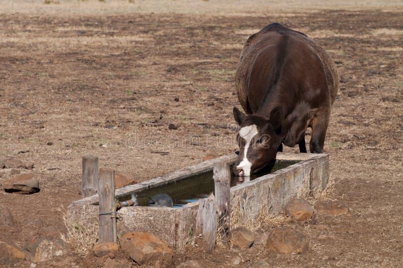 Boire de vache photo stock