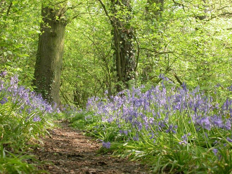 Bois 01 de Bluebell photographie stock