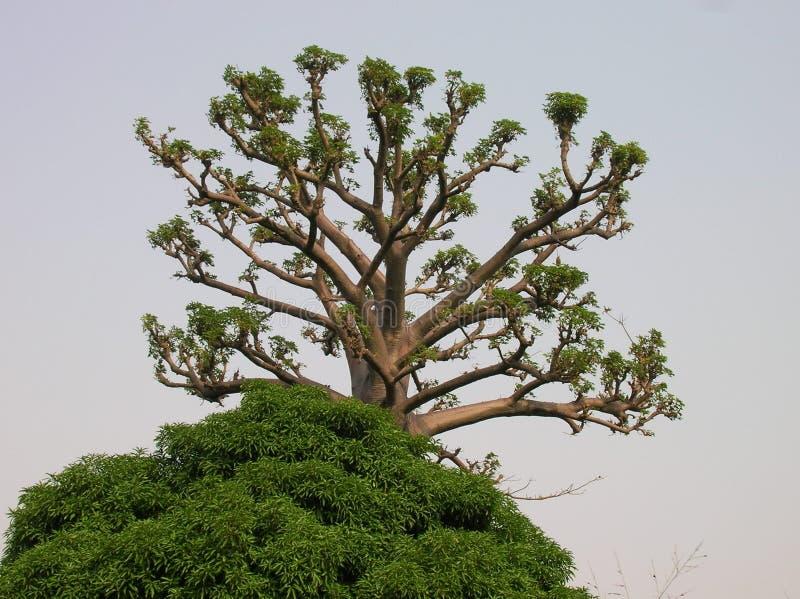 Bois africain image stock