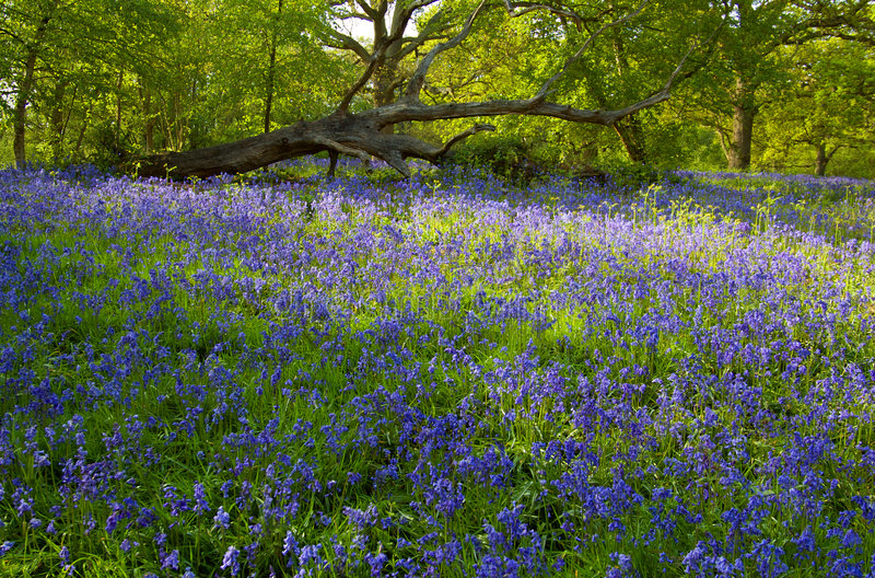 Bois anglais de Bluebell photographie stock