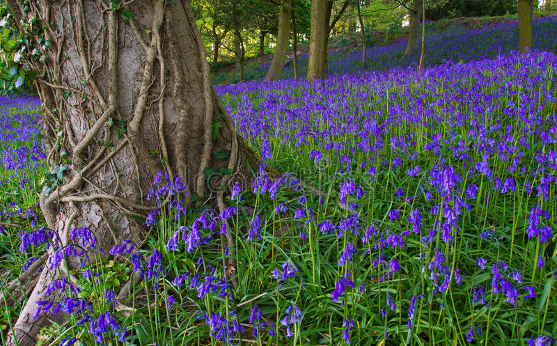 Bois anglais type de bluebell photographie stock libre de droits