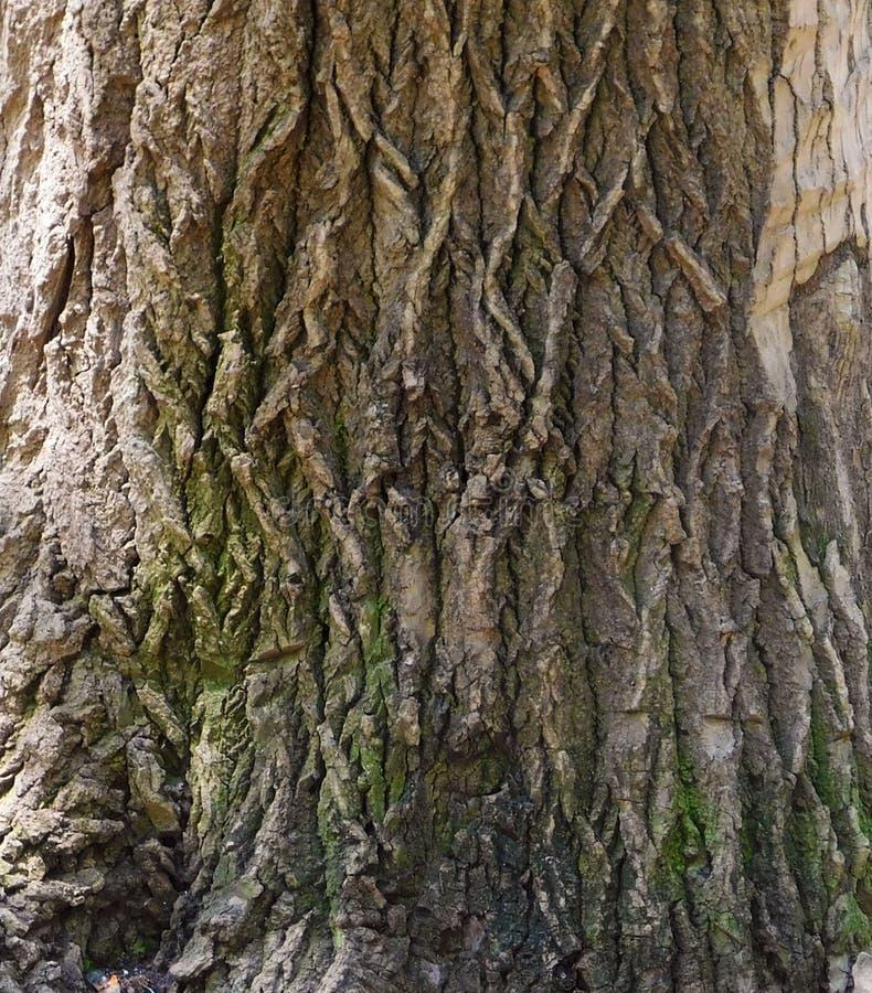Bois d'un chêne photographie stock libre de droits