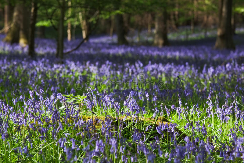 Bois de Bluebell au printemps photos stock