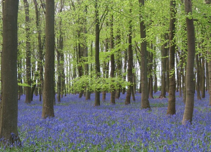 Bois de Bluebell en Angleterre images libres de droits