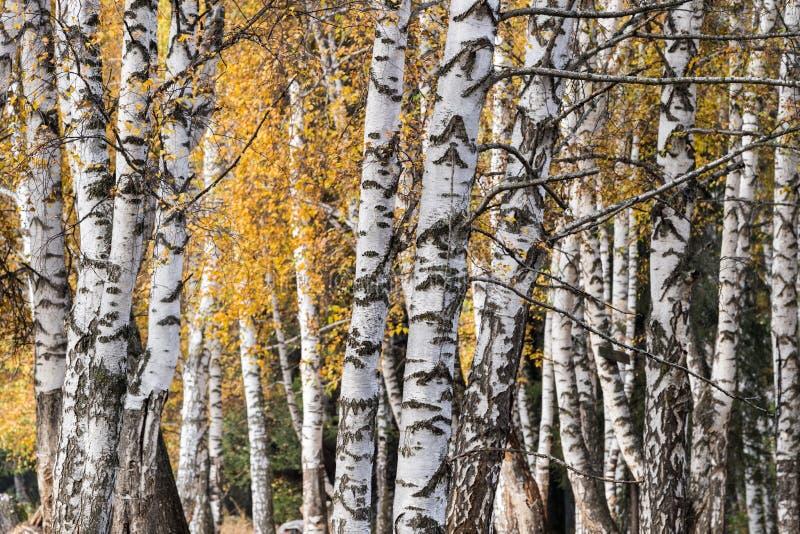 Bois de bouleau blanc en automne images libres de droits