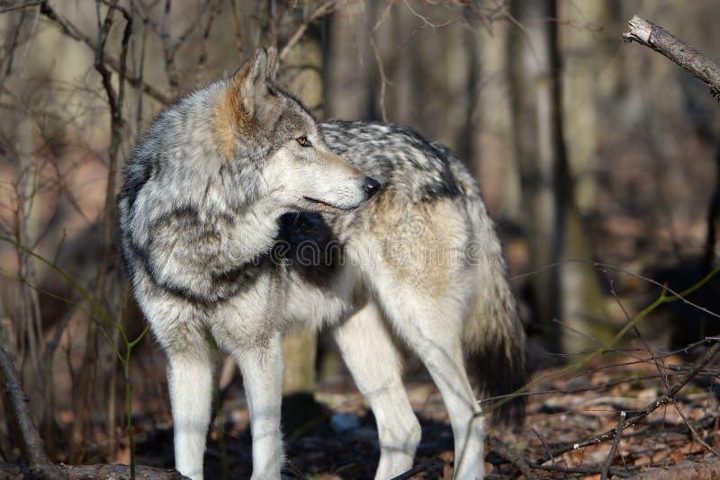 Bois de construction Wolf Canis Lupus dans le sauvage photos stock