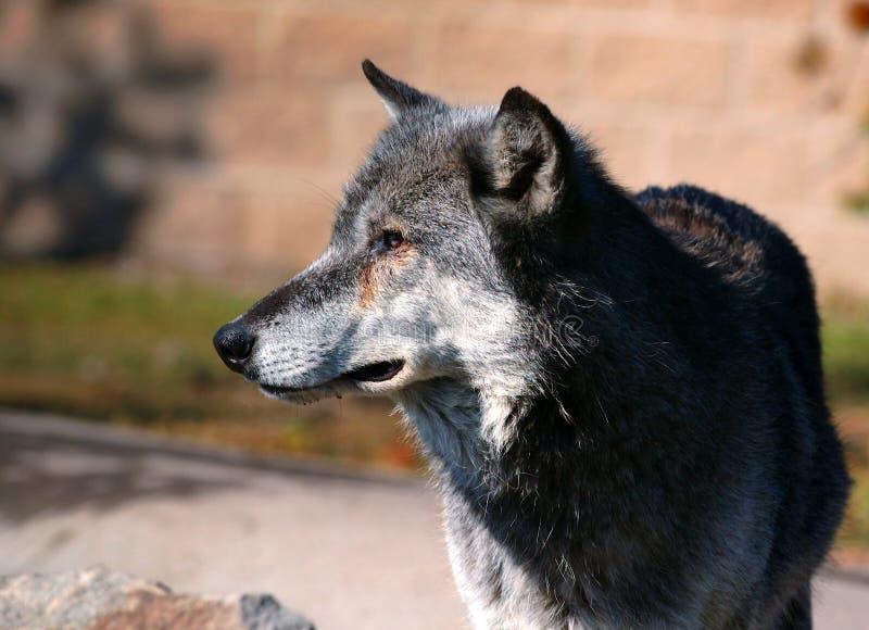 Bois de construction Wolf Looking Left photographie stock