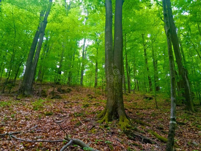bois de forêt Arbre Vert Feuilles Mystary Montagnes photographie stock