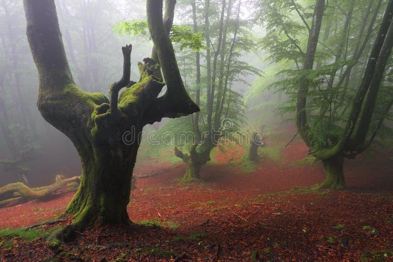 Bois de hêtre brumeux à Orozko (Biscay, pays Basque) photographie stock libre de droits