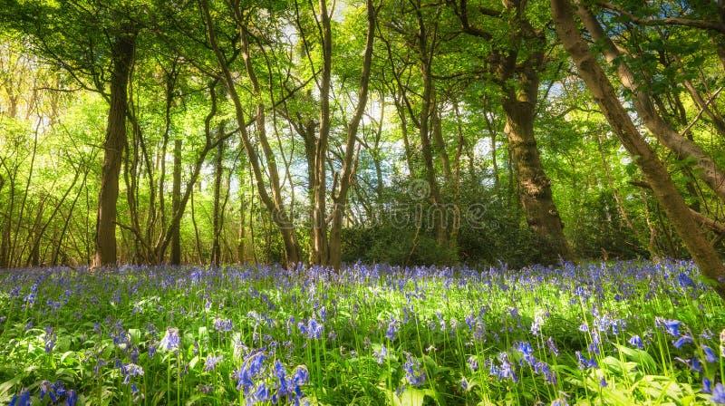 Bois de jacinthe des bois dans le printemps photo libre de droits