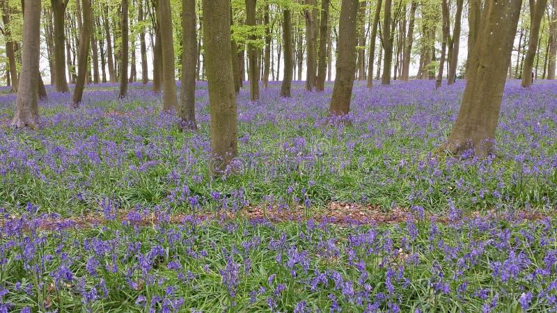 Bois de jacinthe des bois dans le printemps image stock