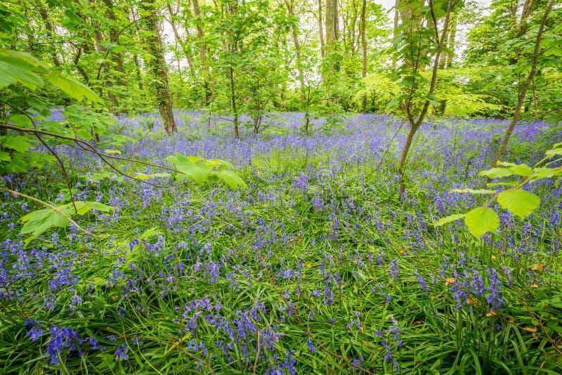 Bois de jacinthes des bois chez Godolphin dans les Cornouailles Angleterre R-U image libre de droits