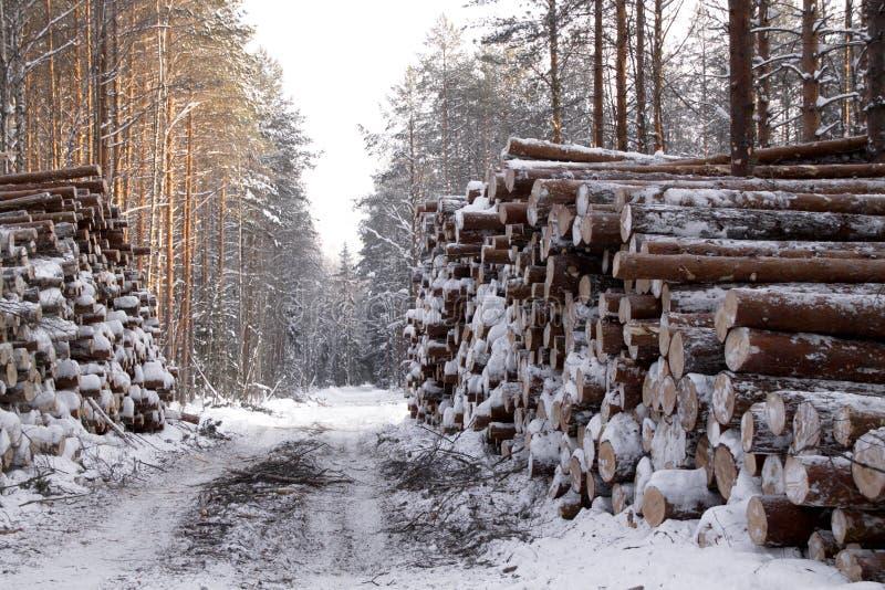 Bois de notation dans le pin de paysage de forêt d'hiver photos stock
