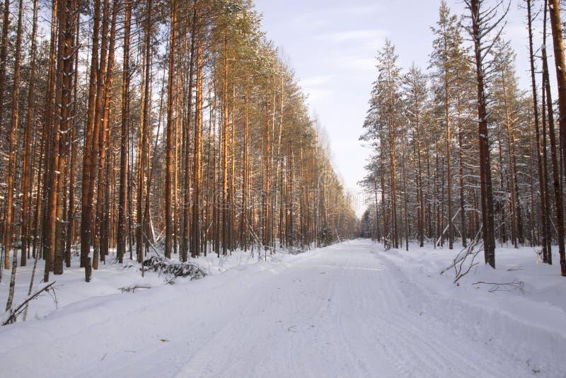 Bois de notation dans le pin de paysage de forêt d'hiver image libre de droits