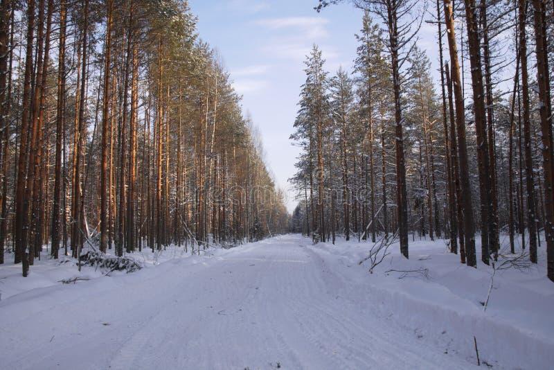 Bois de notation dans le pin de paysage de forêt d'hiver photographie stock libre de droits