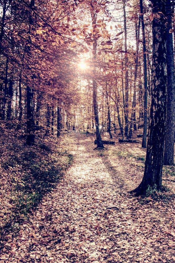 Bois de pin avec la fusée de lumière du soleil Forêt orange image stock