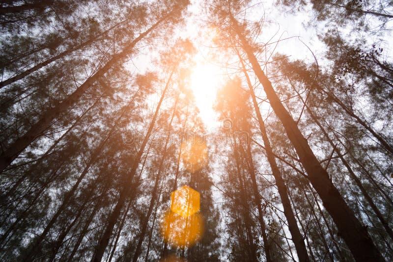 Bois de pin avec la fusée de lumière du soleil Forêt verte sous l'angle de vue photos libres de droits
