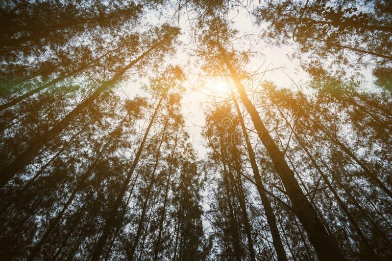 Bois de pin et rayon du soleil Concept de nature et de for?t Th?me de voyage et de vacances Th?me de trekking et d'aventure Vue d photos stock