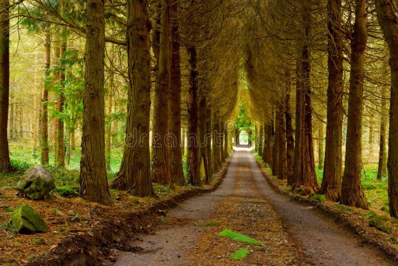 Bois de pin et route de disparaition photo stock