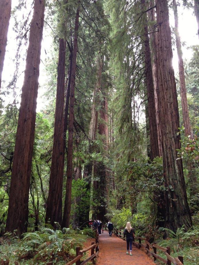 Bois de rouge d'arbres grands de la Californie en bois de muir de réserve forestière de séquoia de wooods de Muir photos stock