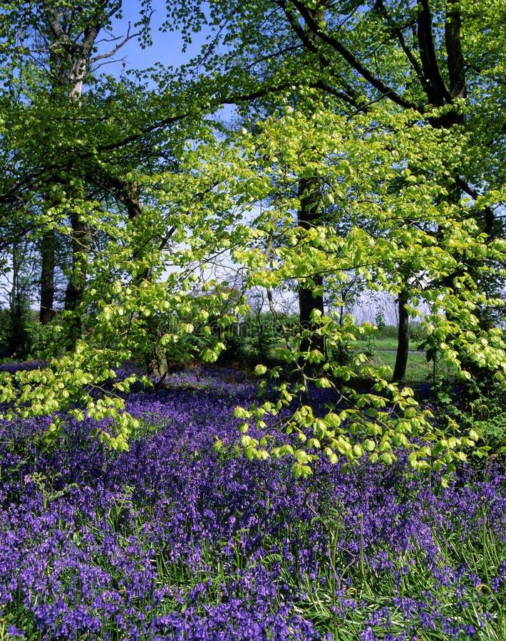 bois de source de bluebell photos stock